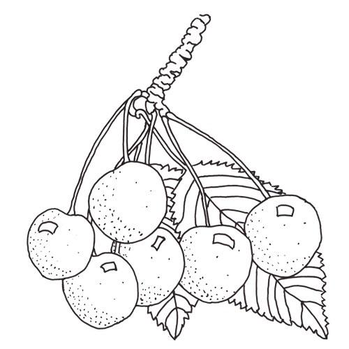 Burlat Süsskirschbaum Hochstamm, Süsskirsche seite