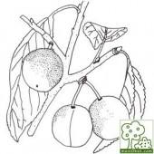 Mirabelle von Nancy Pflaumenbaum Hochstamm, Pflaume am Baum