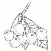 Schneiders Späte Knorpelkirsche Kirschbaum Hochstamm, Süsskirsche seite