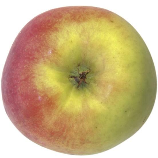 Delbarestivale, Apfel Busch unten