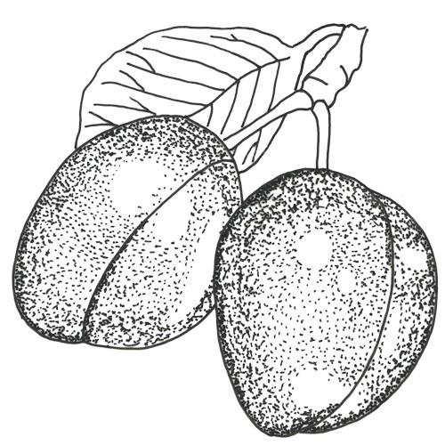 Italienische Zwetsche Pflaumenbaum Hochstamm, Pflaume am Baum