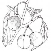 Mirabelle Bellamira Pflaumenbaum Hochstamm, Pflaume seite