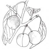 Mirabelle Miagrande Pflaumenbaum Hochstamm, Pflaume seite