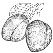 Wangenheims Frühzwetsche Pflaumenbaum Hochstamm, Pflaume seite