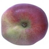 Winterrambur, Apfel Halbstamm, oben