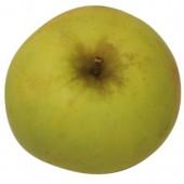 Zuccalmaglio Renette, Apfelbaum Apfel oben