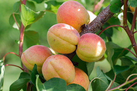 Aprikosenbaum Halbstamm Und Busch Meinobst